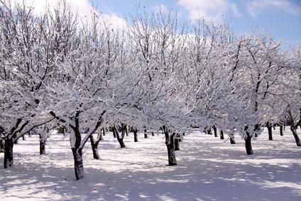 Ovocné stromy v zimě